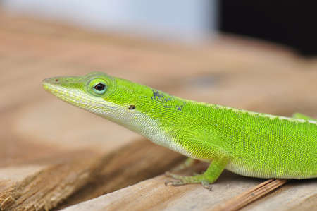 Female Carolina Anole with molting skin basking in the North Carolina sun on a porch Stock Photo