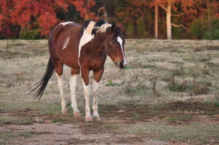 Bruin wit en zwart paard in een herfst veld Stockfoto