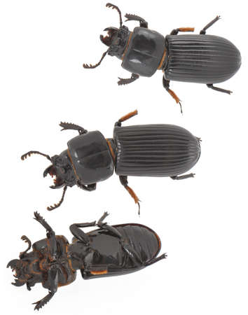 Three shots of a black beetle, isolated on white.  Includes one
