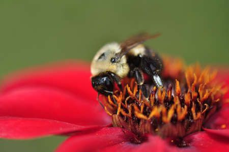 Worker bee harvesting nectar and pollen from a red flower