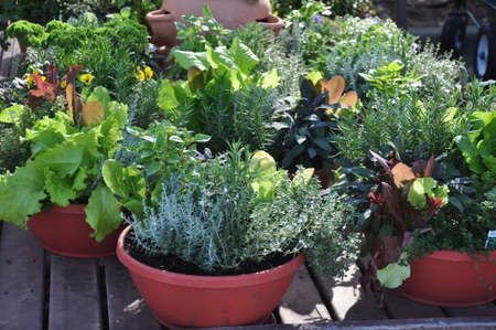potted plant: Fresh herbs grown in compact containers suitable for backyard or patio gardening