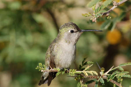 humming: Female Costas Hummingbird perched on a mesquite branch in the Sonoran Desert