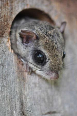 Oost Flying Squirrel gluren uit een vogelhuisje in Raleigh, North Carolina Stockfoto