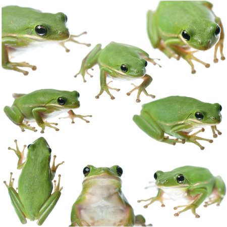 Collection of various poses of a green frog isolated on white photo
