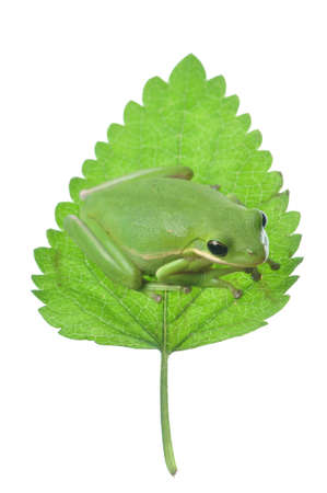exotic frog: Green Tree Frog isolated against a white background Stock Photo