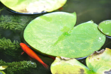 Goldfish swimming among lily pads in a garden pond photo