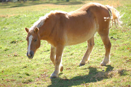 domesticated Haflinger Pony in a green pasture Stock Photo