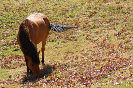 brown horse grazing grass and fallen leaves in western North Carolina Stock Photo