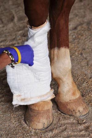 A veterinarian wraps a bandage around a wounded horses leg Stock Photo