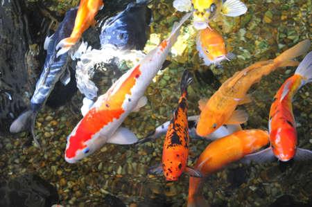 School of japanese koi carp fish in a garden pond