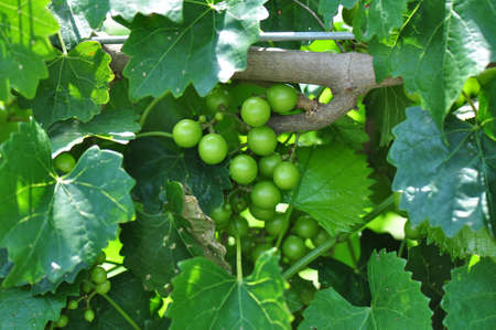 vine country: Rows of cultivated wine grape plants in North Carolina