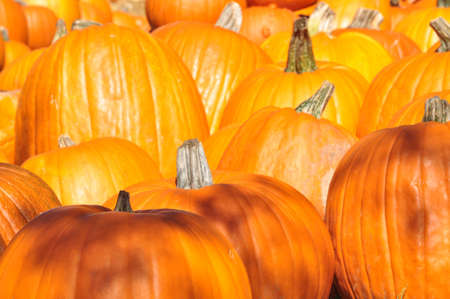Harvested pumpkins for sale in the Autumn