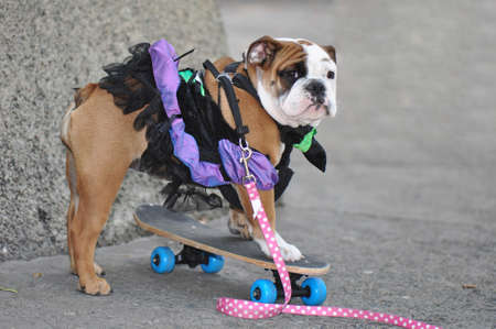 Puppy bulldog in a cheerful ballerina costume learning how to ride a skateboard
