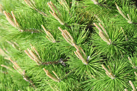 Young branches of a pine tree dispersing pollen in Spring Stock Photo - 15217531