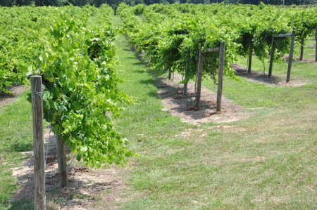 Rows of cultivated wine grape plants in North Carolina