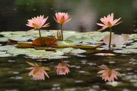 Pink water lily flowers and lily pads in a water garden Stock Photo - 15216835