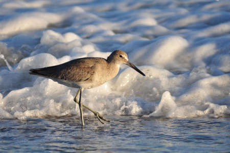 piper: Willet, Tringa semipalmata, hunting for small prey on the shores of North Carolina