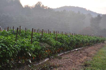Organisch peper boerderij nabij Asheville, North Carolina groei van de heetste pepers ter wereld Stockfoto