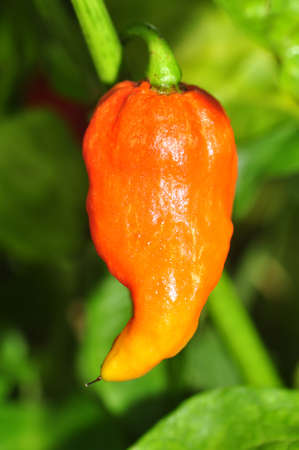 jalapeno pepper: Organic pepper farm near Asheville, North Carolina growing the hottest peppers in the world