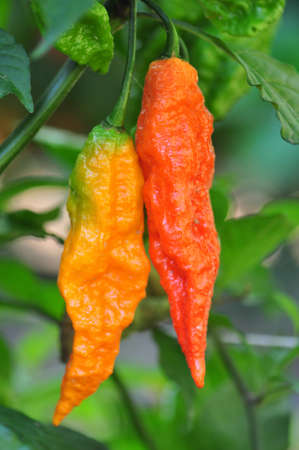 hottest: Organic pepper farm near Asheville, North Carolina growing the hottest peppers in the world