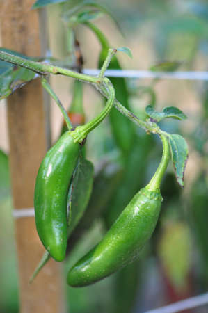 red jalapeno: Organic pepper farm near Asheville, North Carolina growing the hottest peppers in the world