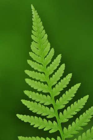 Newly unfurled spring fern leaves in Chapel Hill, North Carolina