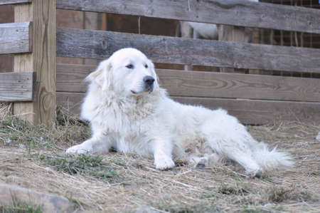 great pyrenees dog resting from guarding sheep at a mountain farm in North Carolina Foto de archivo
