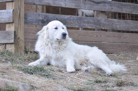 great pyrenees dog resting from guarding sheep at a mountain farm in North Carolina Standard-Bild