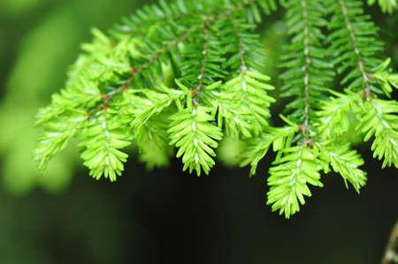 hemlock: Primavera Hemlock rama de árbol detalle aguja en Chapel Hill, Carolina del Norte