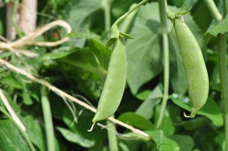 Fresh garden vegetables growing in Chapel Hill, North Carolina photo