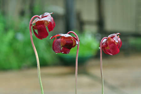 Carnivorous pitcher plants grown in Chapel Hill, North Carolina photo