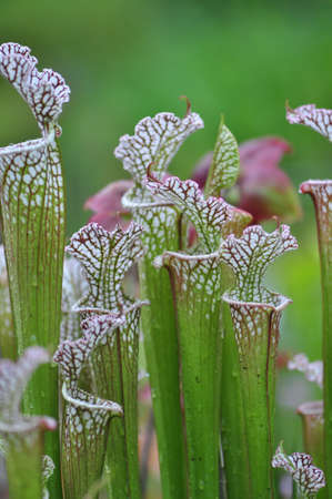 Carnivorous pitcher plants grown in Chapel Hill, North Carolina