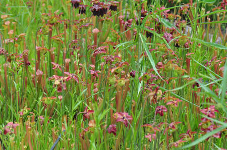 insectivorous: Carnivorous pitcher plants grown in Chapel Hill, North Carolina