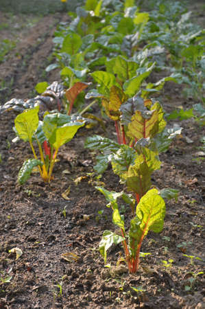 Vallen wortelgroenten groeien in Asheville, North Carolina Stockfoto
