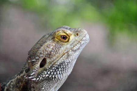 bearded dragon lizard: Portrait of a Bearded Dragon Lizard Stock Photo