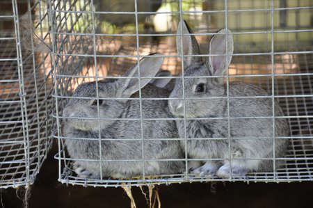 Two young rabbits raised at a farm near Asheville, North Carolina photo