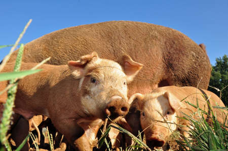 Free range pigs raised on a farm in Asheville, North Carolina Stock Photo