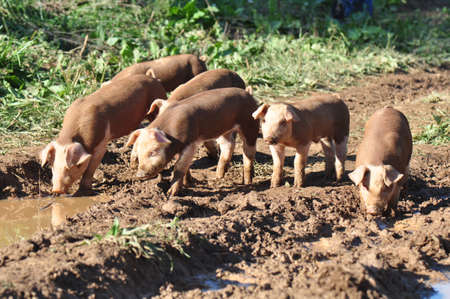 Free range pigs raised on a farm in Asheville, North Carolina photo