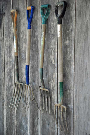 hayfork: Rustic Pitchforks hanging on the wall of a weathered barn
