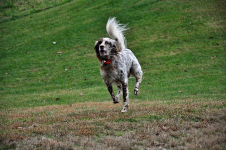 English Setter breeder in the mountains of North Carolina