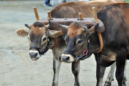 Gedomesticeerde koeien trekken een ossenkar de buurt van Raleigh, North Carolina Stockfoto