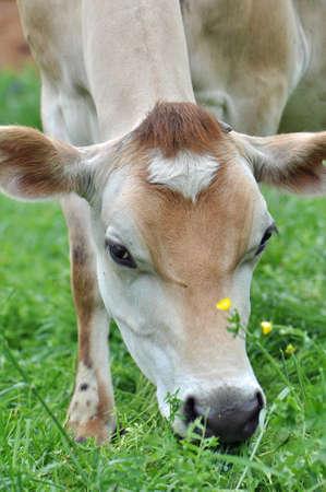 Dairy Cows at a local micro farm in Chapel Hill North Carolina