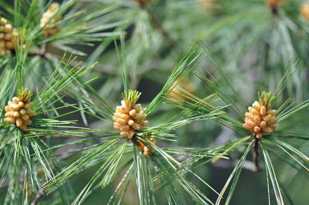 barely: Young pine cones barely beginning to form on a tree in North Carolina