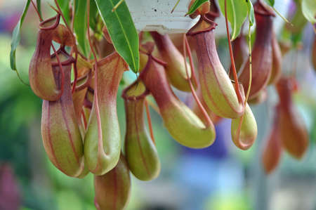 Nepenthes vine at a greenhouse in Raleigh, North Carolina