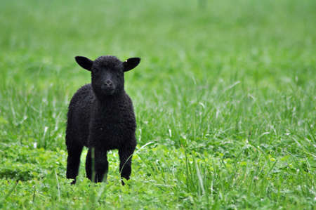 Goats and sheep at a small local farm in Chapel Hill North Carolina