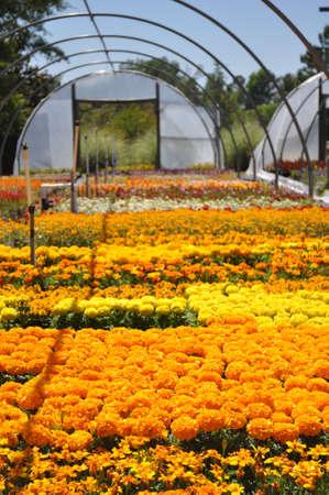 Kleurrijke voorjaar bloemen te koop bij een onafhankelijke lokale plantenkwekerij in Raleigh, North Carolina Stockfoto