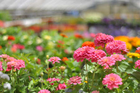 Colorful spring flowers for sale at an independent local plant nursery in Raleigh, North Carolina