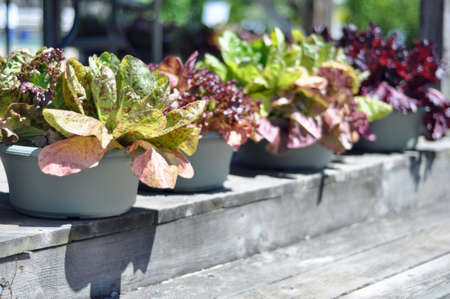 herb garden: Brightly colored lettuce grown in containers at a local independent nursery in Raleigh, North Carolina Stock Photo