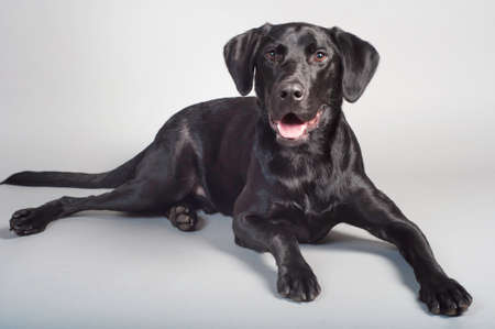 Perro perdiguero Negro joven Laborador Foto de archivo