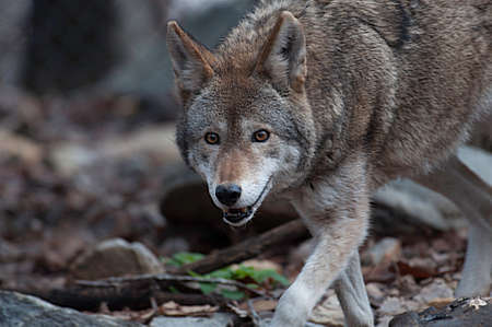 gray wolf black and white: Red wolf pacing in North Carolina Stock Photo